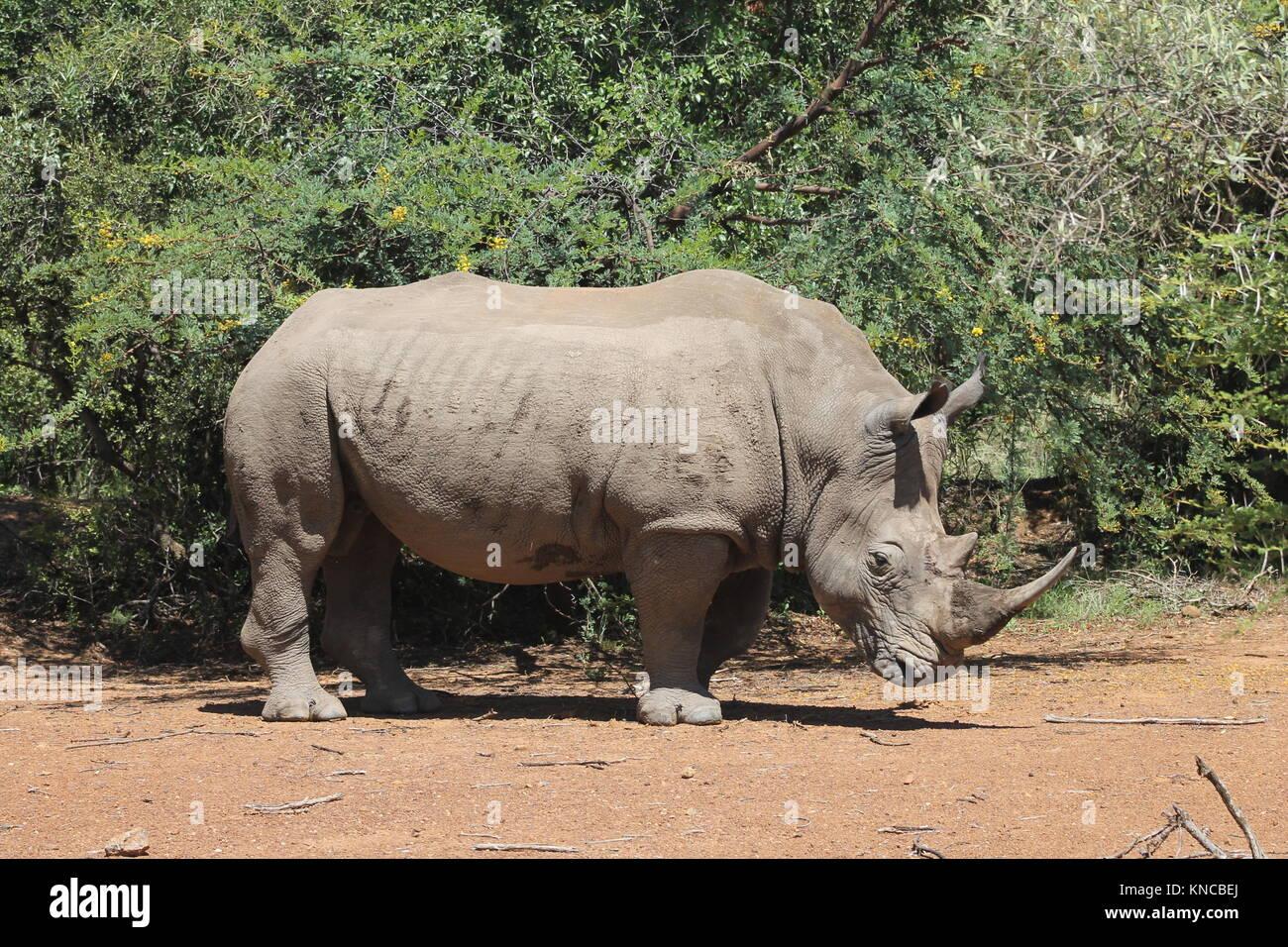 White Rhino Male - Stock Image