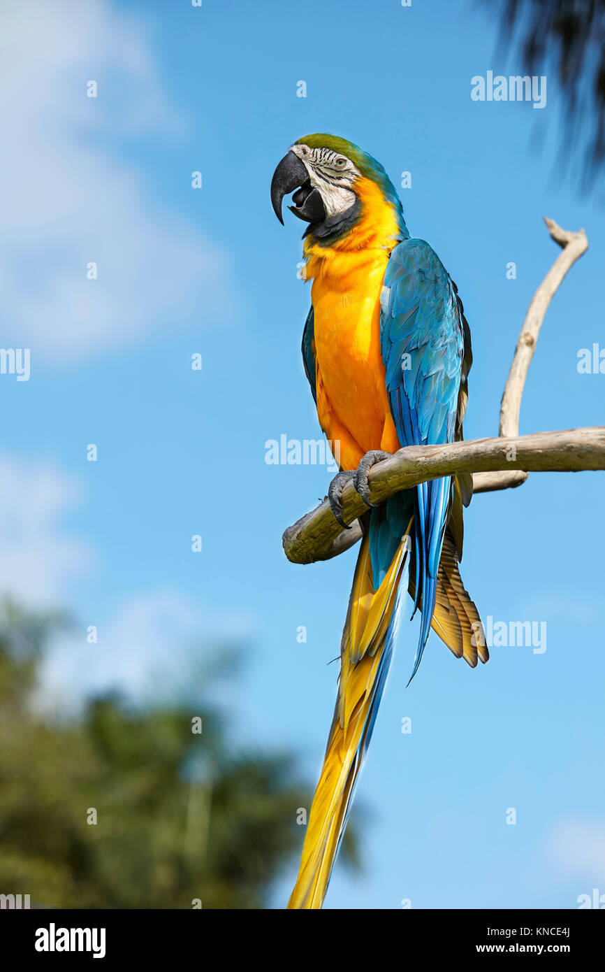 The Blue-and-Yellow Macaw (Ara ararauna), also known as the Blue-and-Gold Macaw. Bali Bird Park, Batubulan, Gianyar Stock Photo