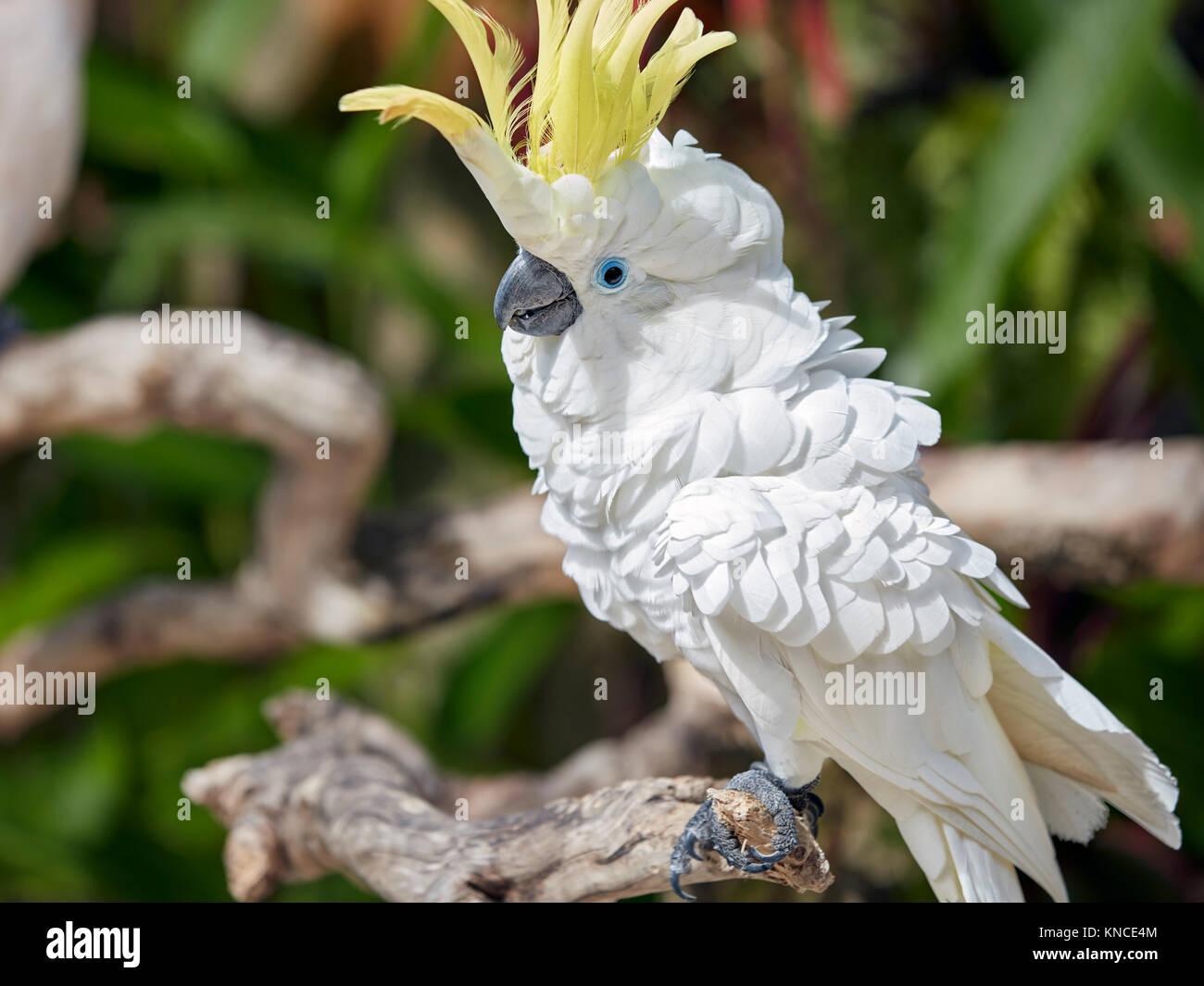 The Sulphur-Crested Cockatoo (Cacatua galerita). Bali Bird Park, Batubulan, Gianyar regency, Bali, Indonesia. - Stock Image