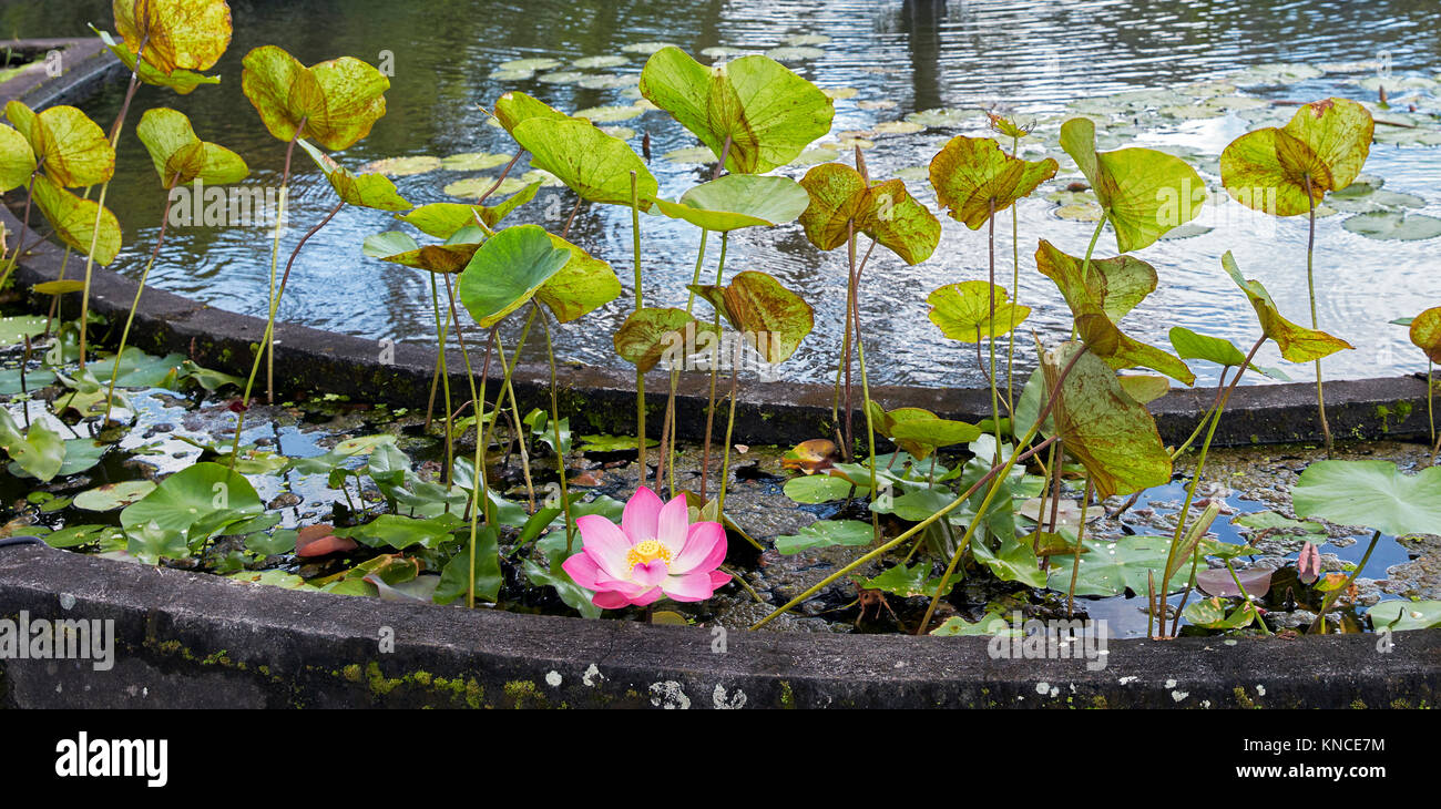 Lotus flower (Nelumbo nucifera) in the garden of the Tirta Gangga Water Palace. Karangasem regency, Bali, Indonesia. Stock Photo