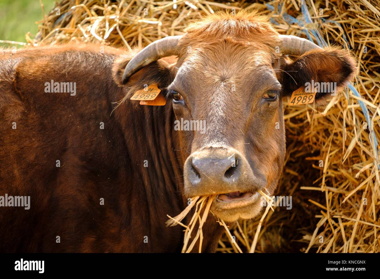 vaca autoctona mallorquina, finca Es Bosch Vell, Santa Margalida, Mallorca, balearic islands, spain, europe. - Stock Image
