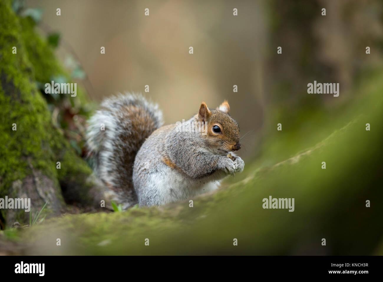 Grey Squirrel; Sciurus carolinensis Single; Holding Food Cornwall; UK - Stock Image