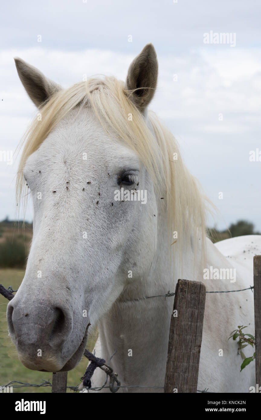 Close up of a white Camargue horse standing at a barbed wire fence. Only his head and neck are shown. Flies are - Stock Image