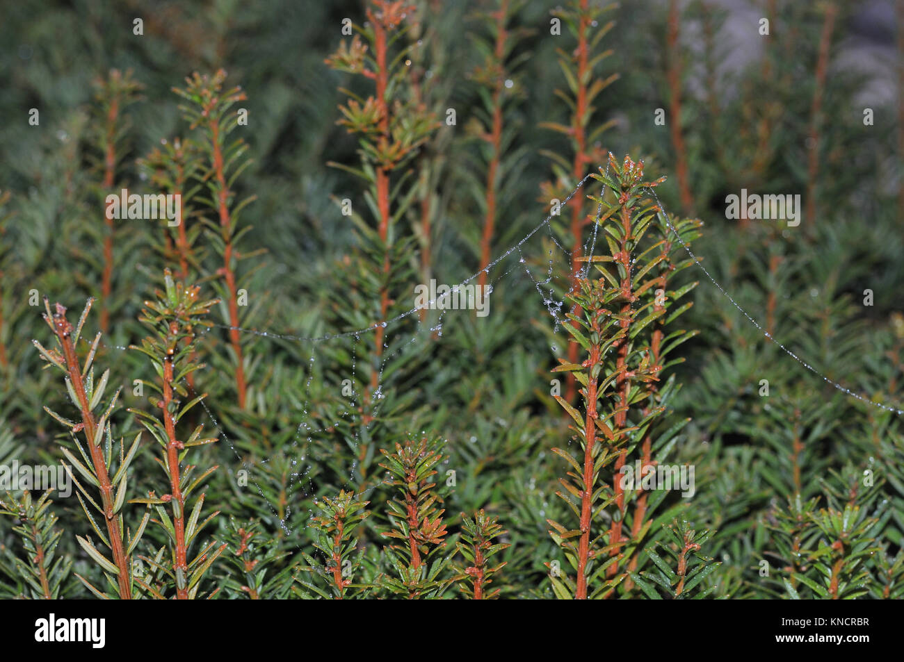 yew hedge with spider silk - Stock Image