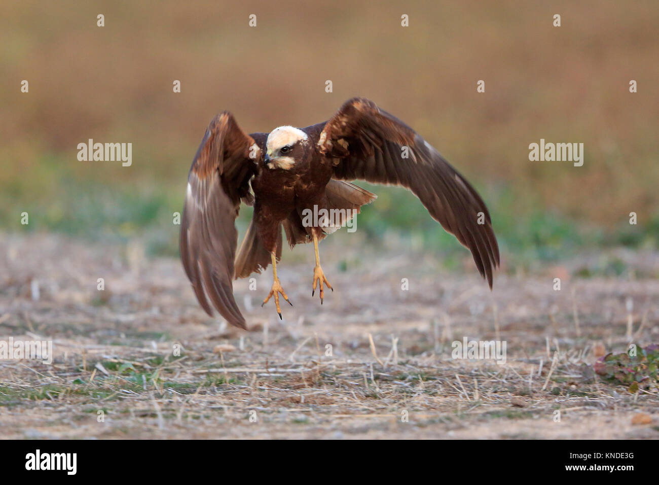Female Marsh Harrier taking off in Spain Stock Photo