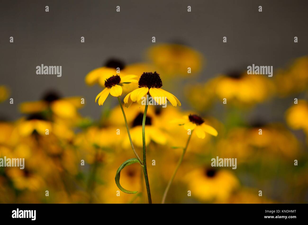 Black-eyed susans centered in soft-focus, Pennsylvania, USA. - Stock Image