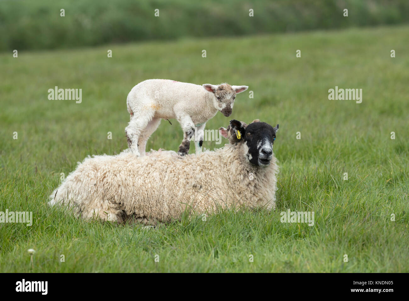 Sheep Ewe With Lambs; One on her Back Devon; UK - Stock Image