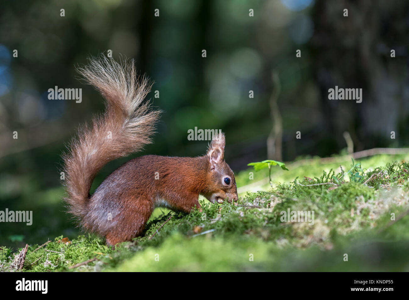 Red Squirrel; Sciurus vulgaris Single Burrying a Nut Yorkshire; UK - Stock Image