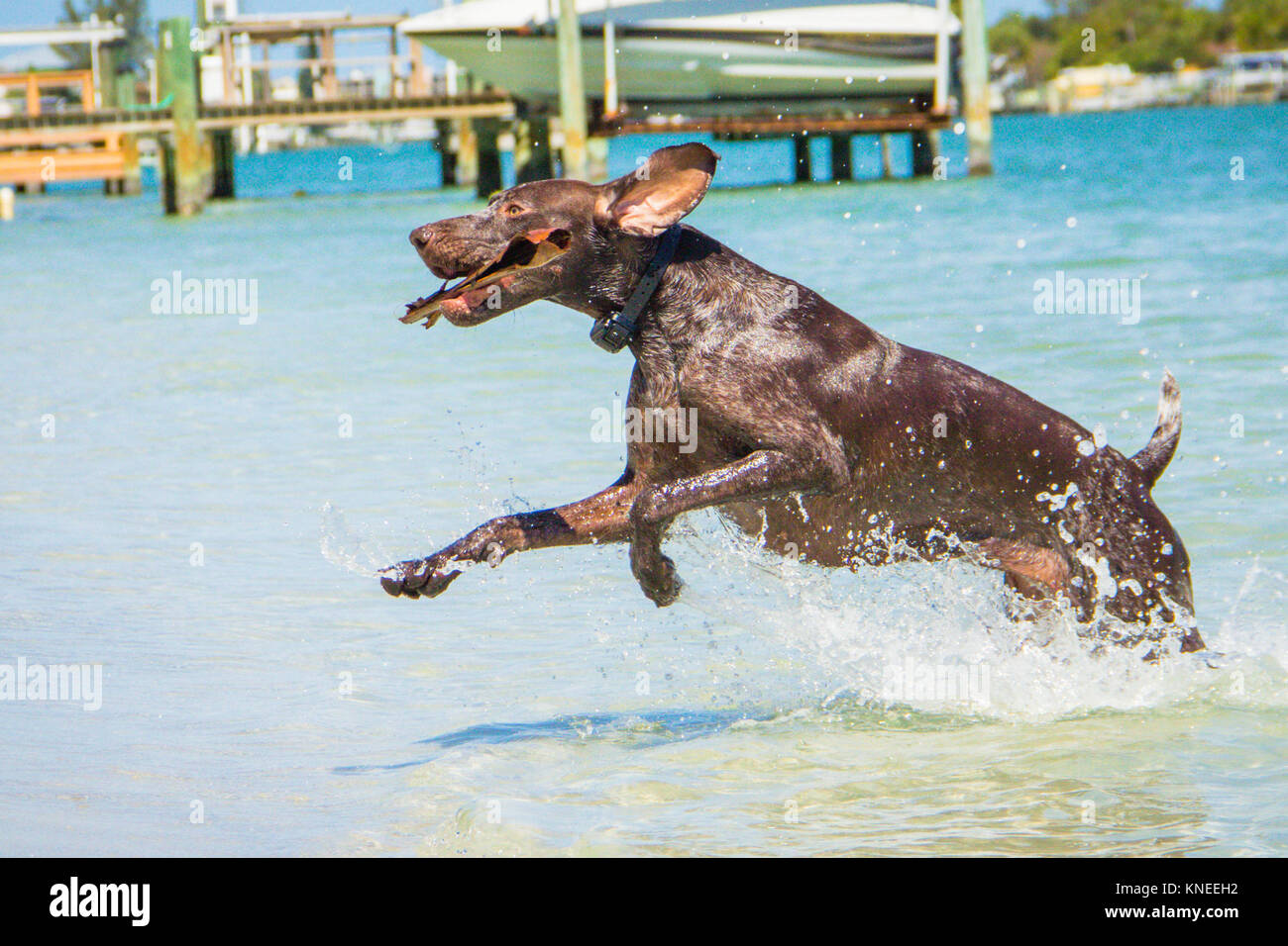 German Shorthaired Pointer Dog Running Stock Photos & German ...