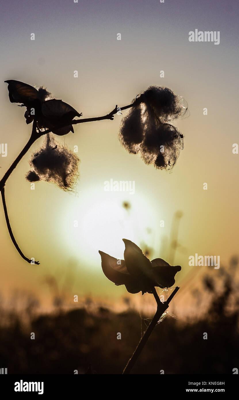 Cotton fields in the Khiva countryside, Xorazm Region, Uzbekistan, October 28, 2017    Credit © Jacopo Casaro/Sintesi/Alamy Stock Photo