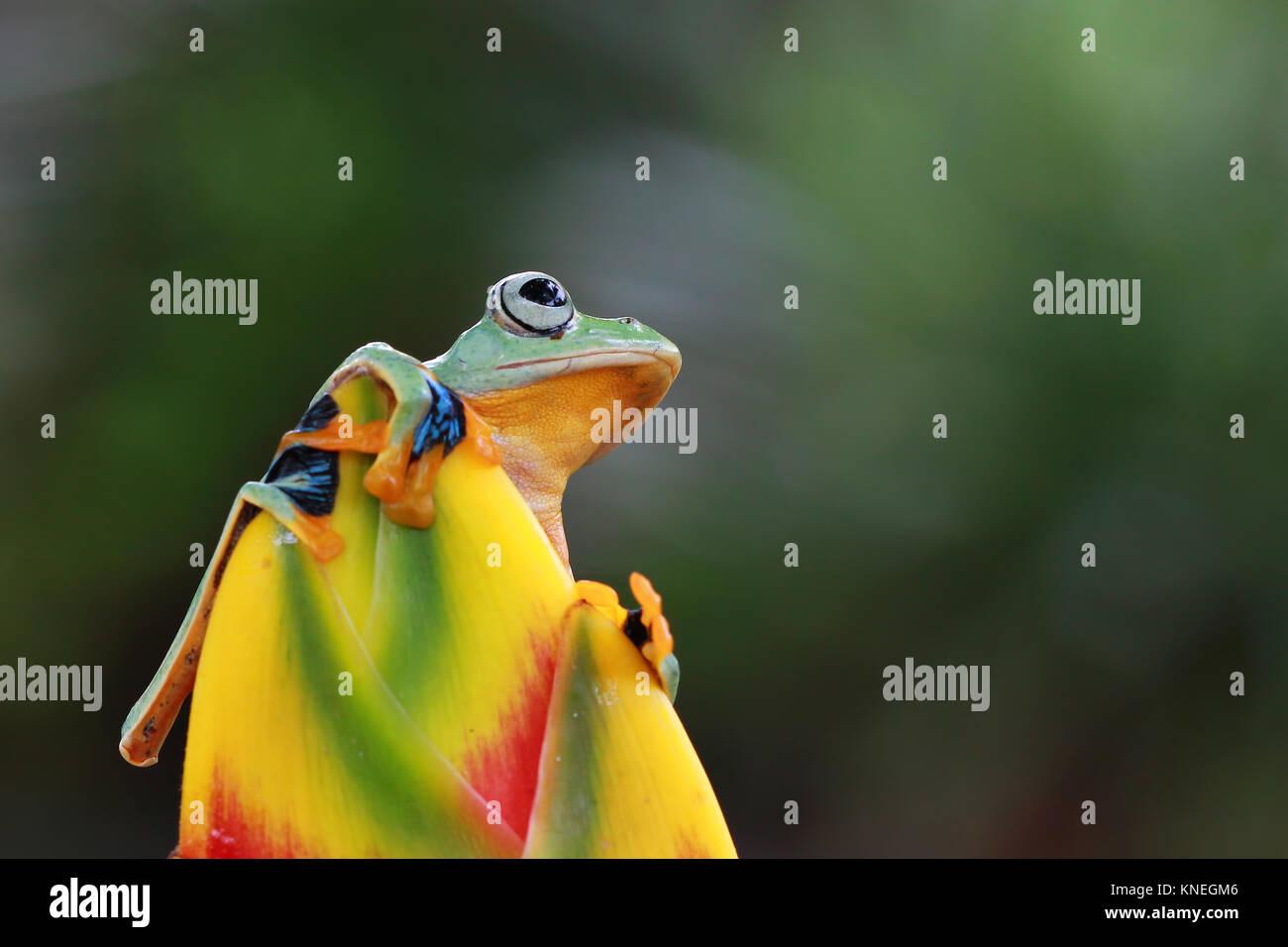 Tree frog (Rhacophorus reinwardtii) on a flower - Stock Image