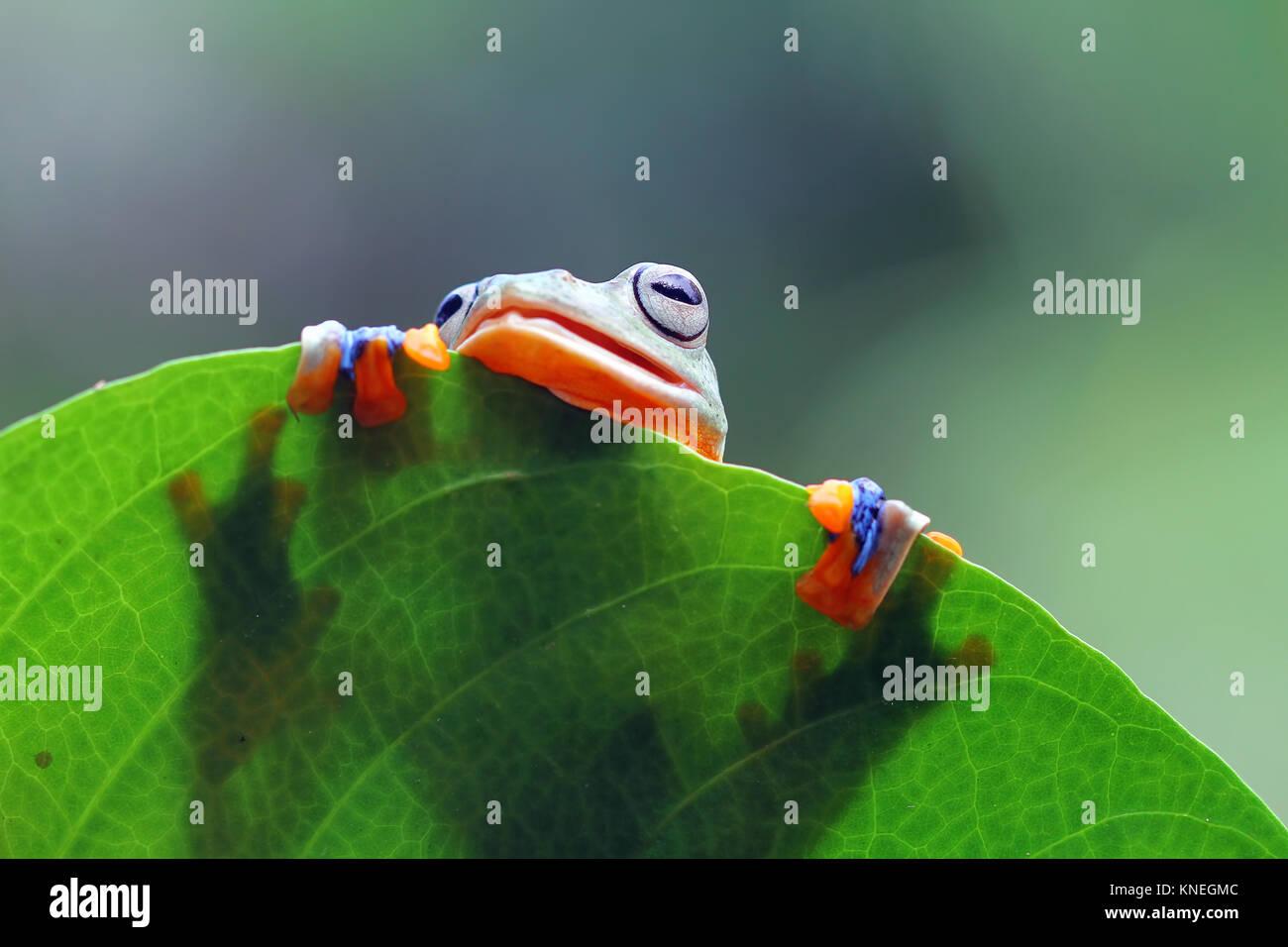 Tree frog (Rhacophorus reinwardtii) on a leaf - Stock Image