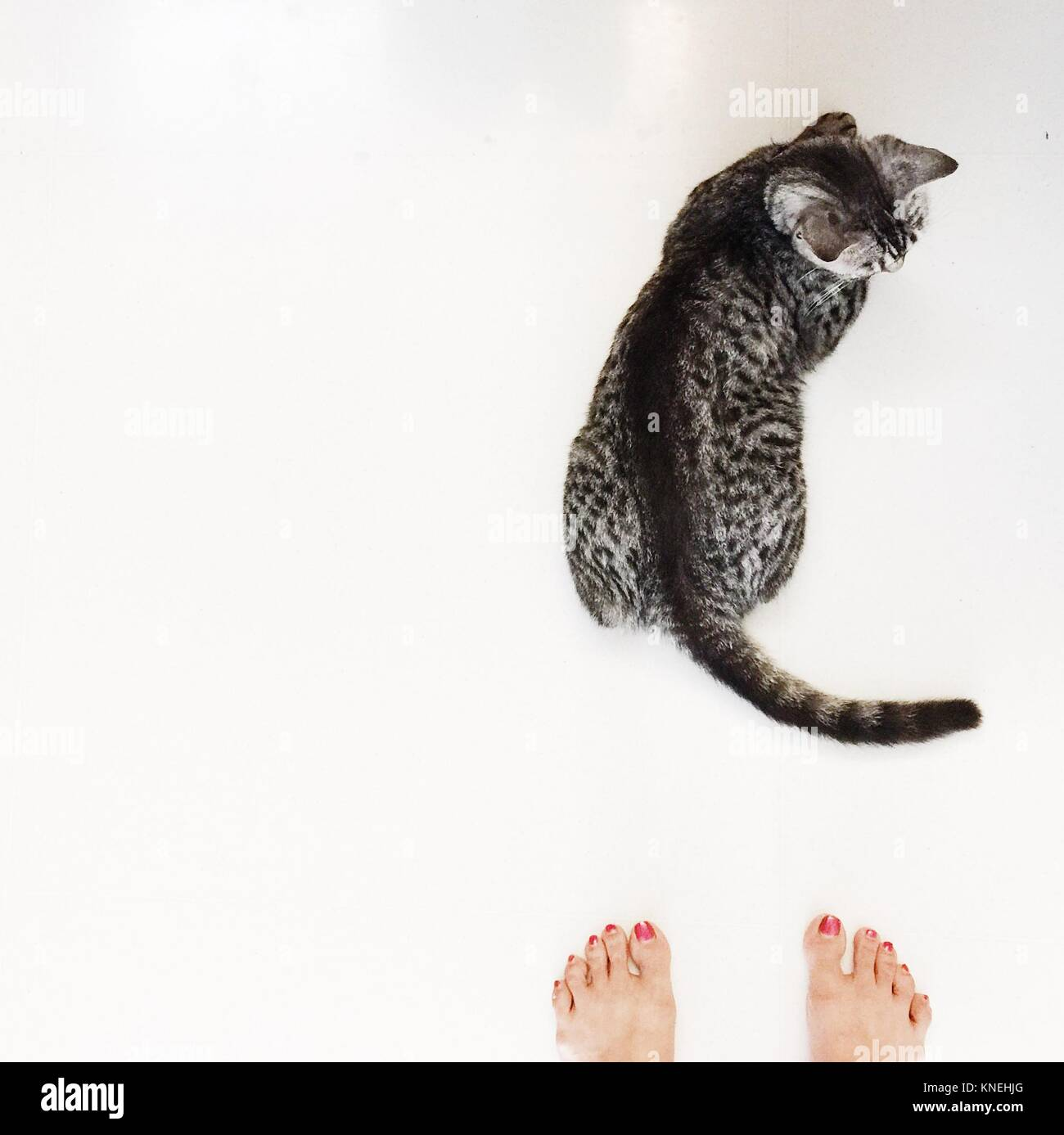 Overhead view of a woman's feet next to an American shorthair cat Stock Photo