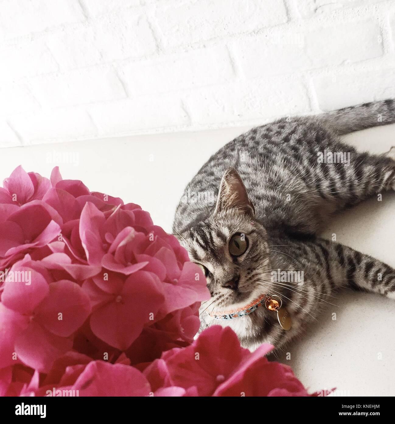 American shorthair Cat lying next to Hydrangea flowers Stock Photo