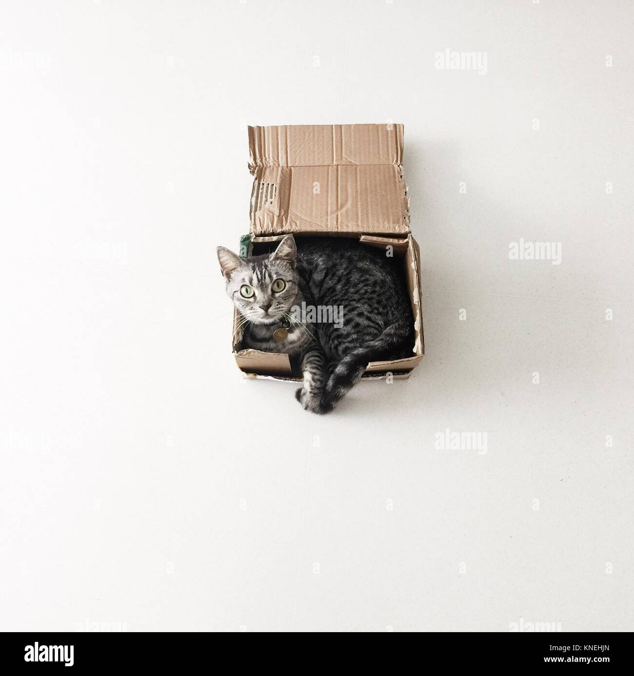 American shorthair cat lying in a cardboard box Stock Photo