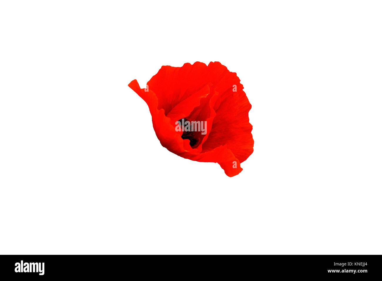 Red poppy flower isolated on white background, side view - Stock Image