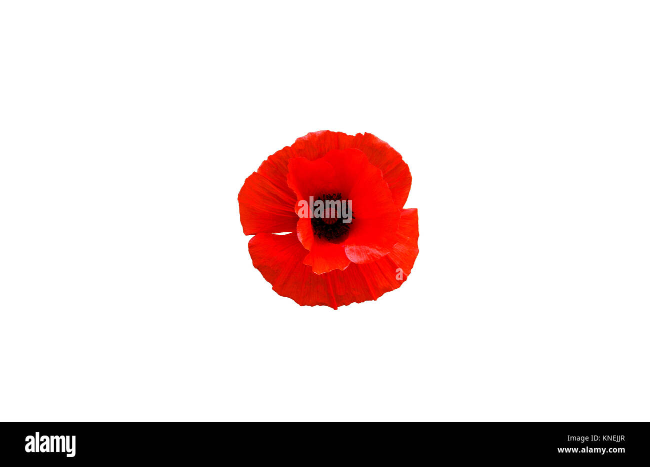 Red poppy flower isolated on white background, top view - Stock Image