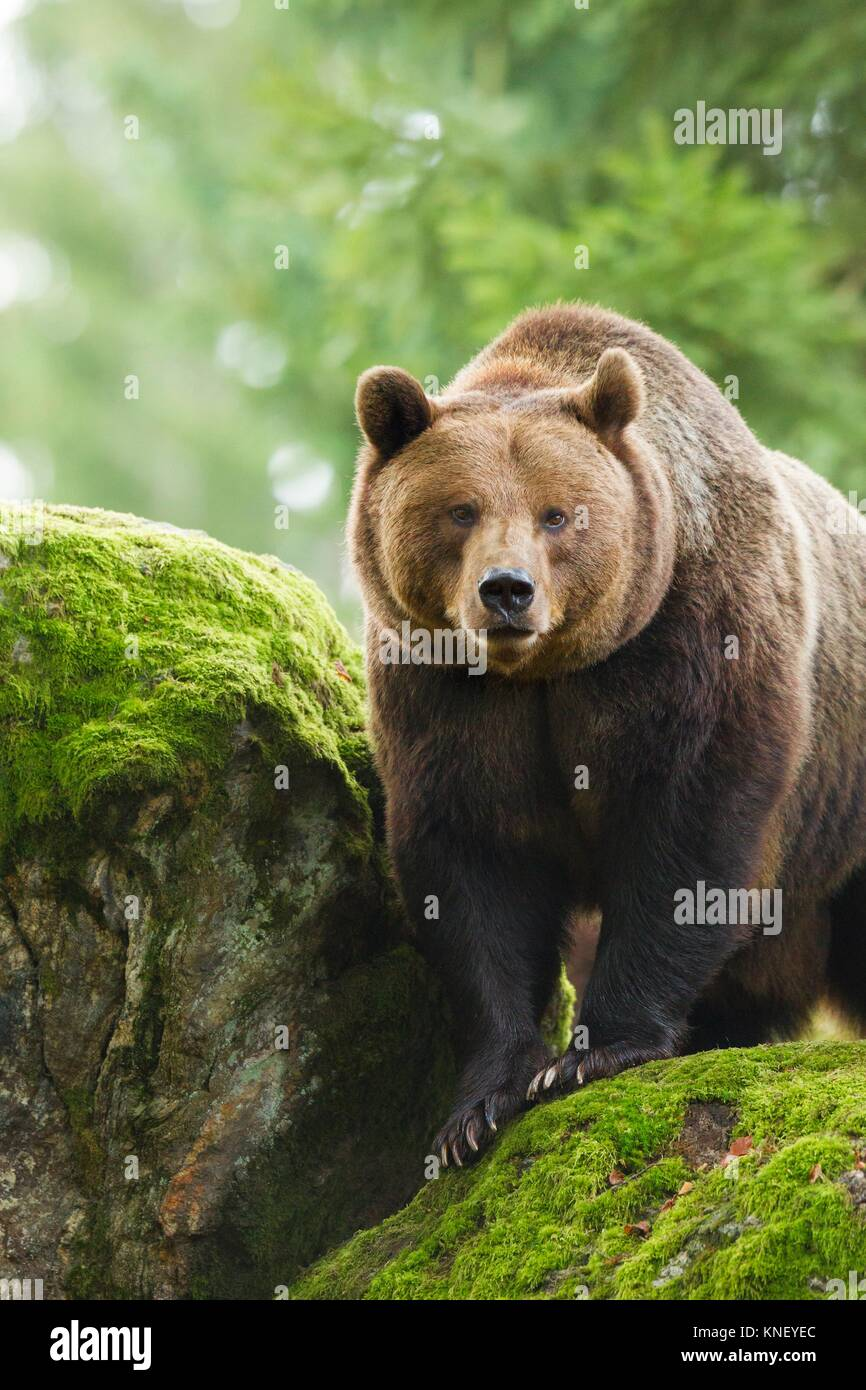 Brown Bear (Ursus arctos), Bavarian Forest National Park, Germany. Stock Photo