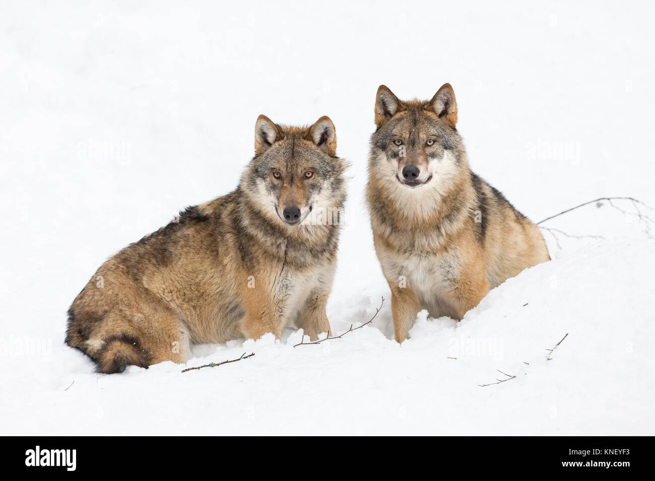 Two wolves (Canis lupus) in winter, Bavarian Forest National Park, Germany. - Stock Image