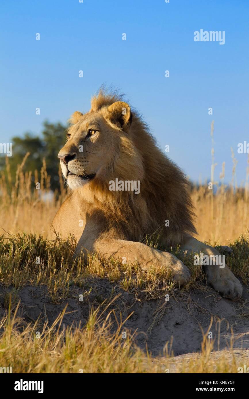 African lion (Panthera leo). Okavango Delta, Botswana, Africa. - Stock Image