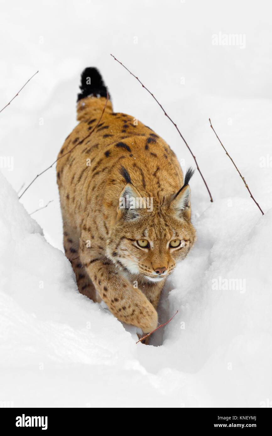 Eurasian Lynx (Lynx lynx) in deep snow, Bavaria, Germany. - Stock Image