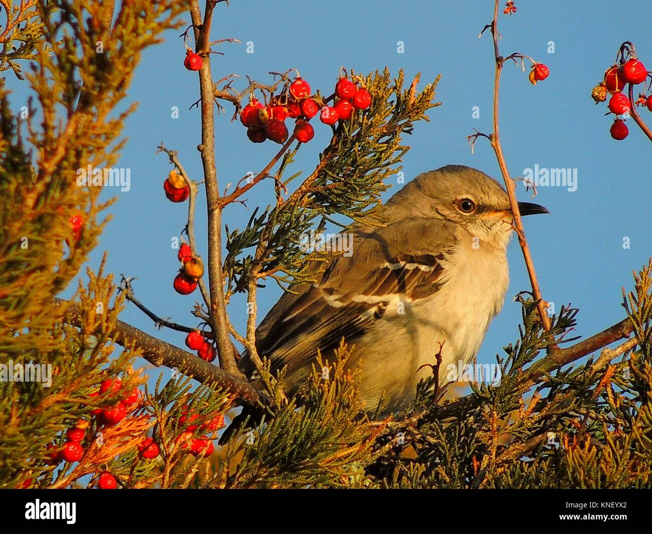 A northern mockingbird, mismus polyglottos, relaxes before indulging in some berries, Pennsylvania, USA. - Stock Image