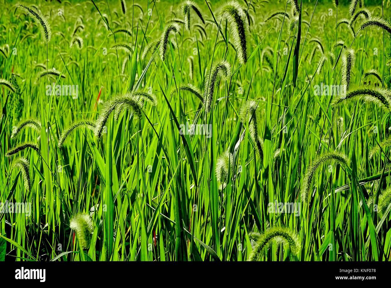 Wild grasses fill a field, Pennsylvania, USA. - Stock Image