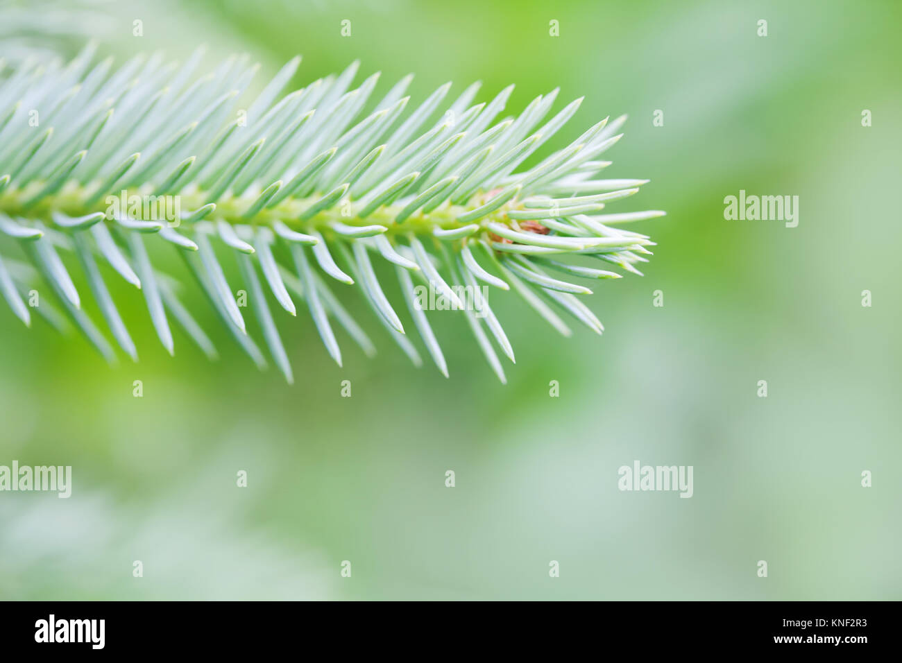 Photography Xmas greenery tree branch. Natural spruce tree. Fir tree soft and blurry background. Daylight. macro - Stock Image