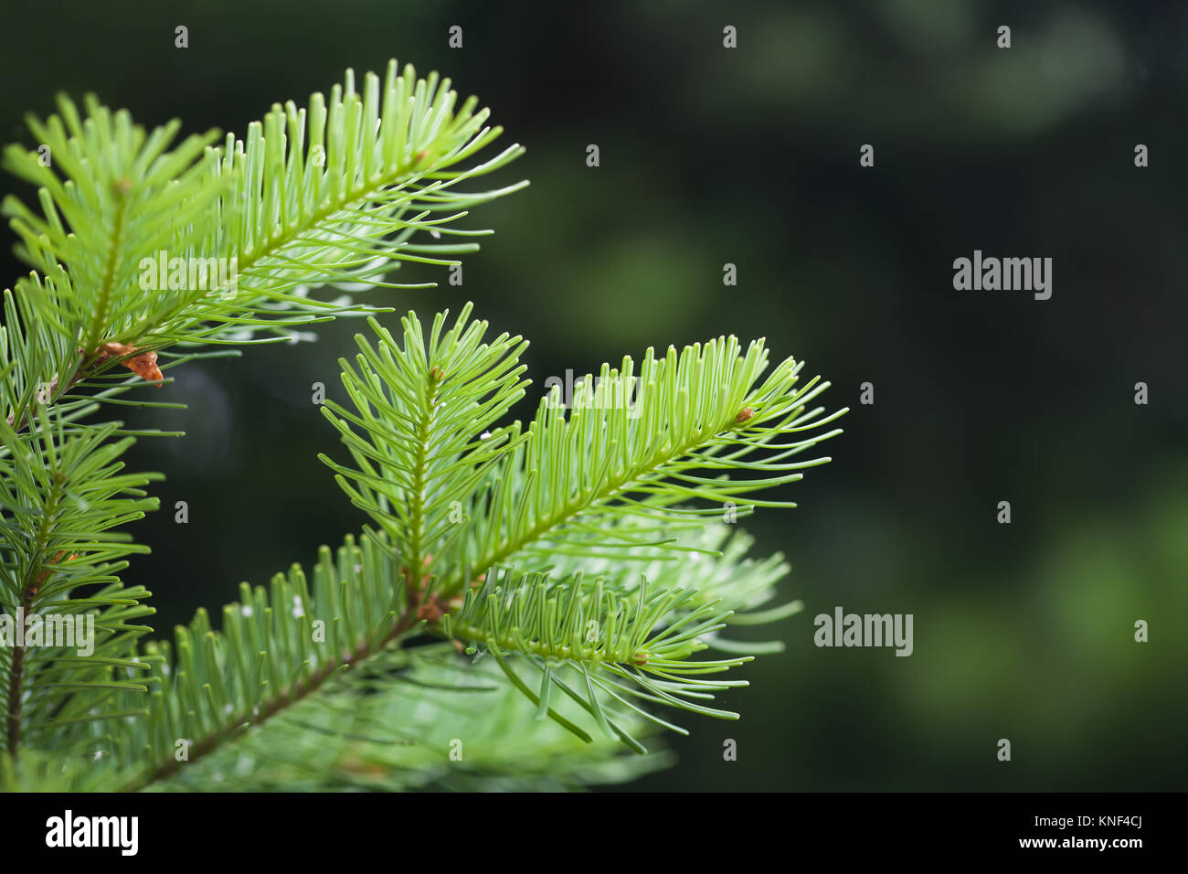 Green spruce branch. soft and blurry background. macro view, soft focus. - Stock Image
