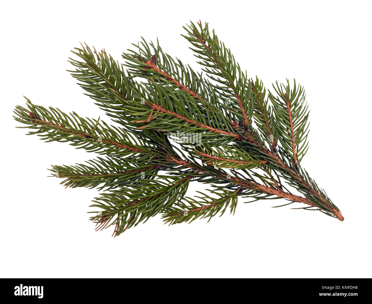 Pine needle detail. Nature detail, also festive decoration. - Stock Image
