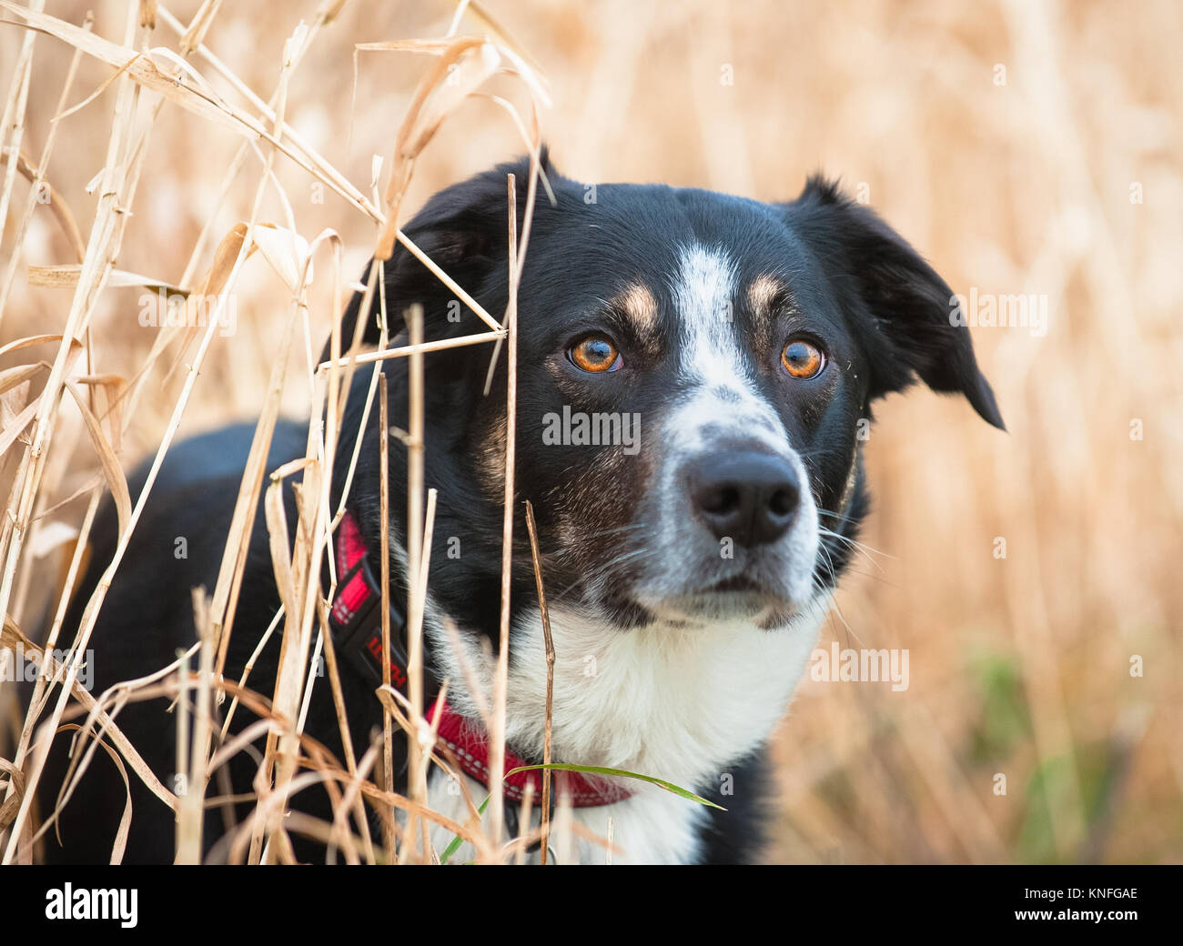 Tri Colour Border Collie dog portrait in long grass - Stock Image