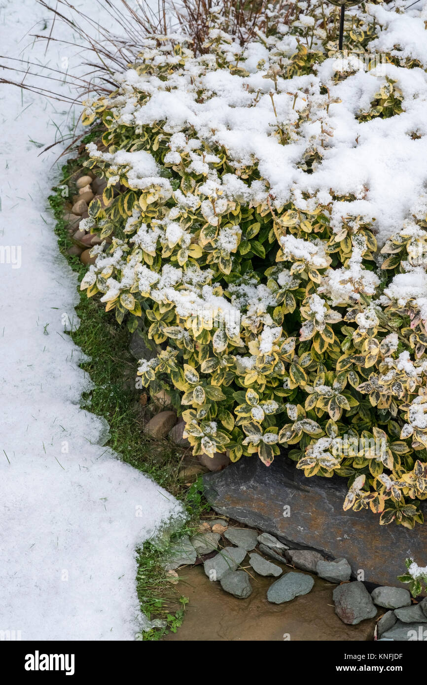 Euonymus Fortunei Emerald n Gold evergreen shrub, in snowy winter conditions, December, England UK - Stock Image