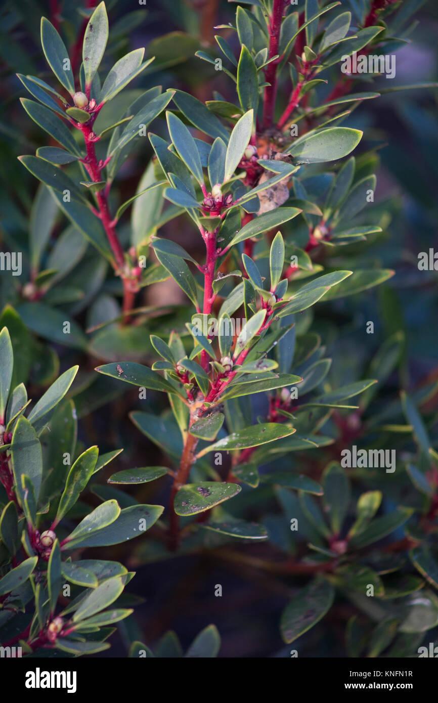 Tasmannia lanceolata Stock Photo