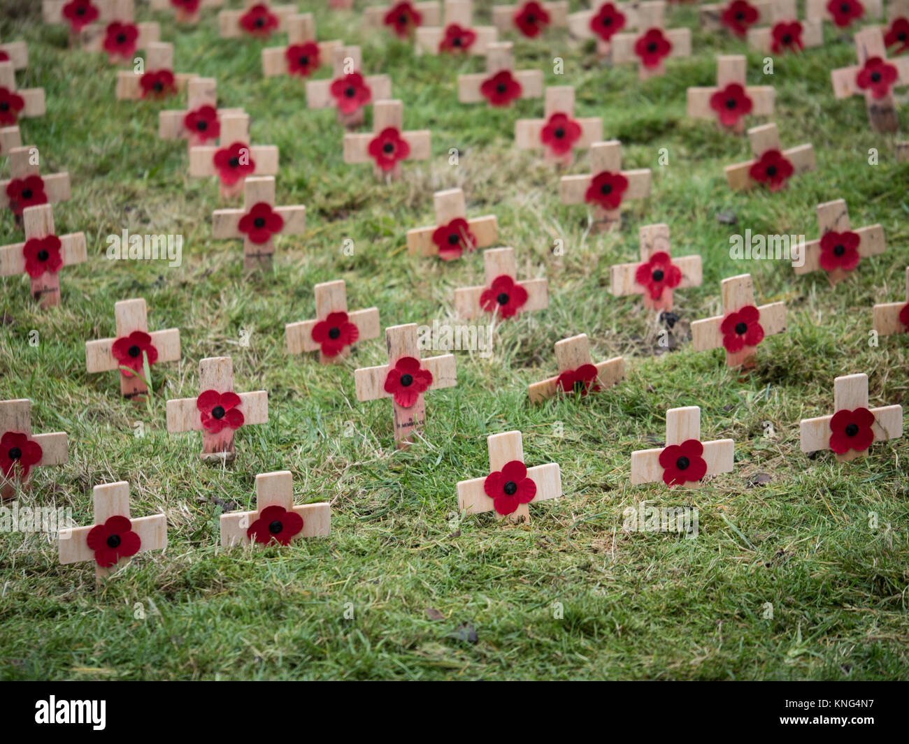 Armistice day poppies on small wooden crosses. England. UK. - Stock Image
