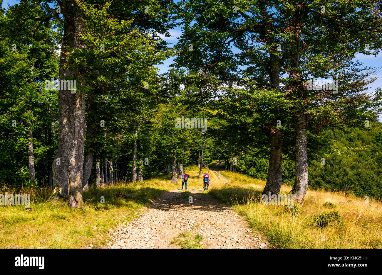 tourists on a dirt road through Primeval Beech Forests of the Carpathians. gorgeous nature scenery in summer - Stock Image