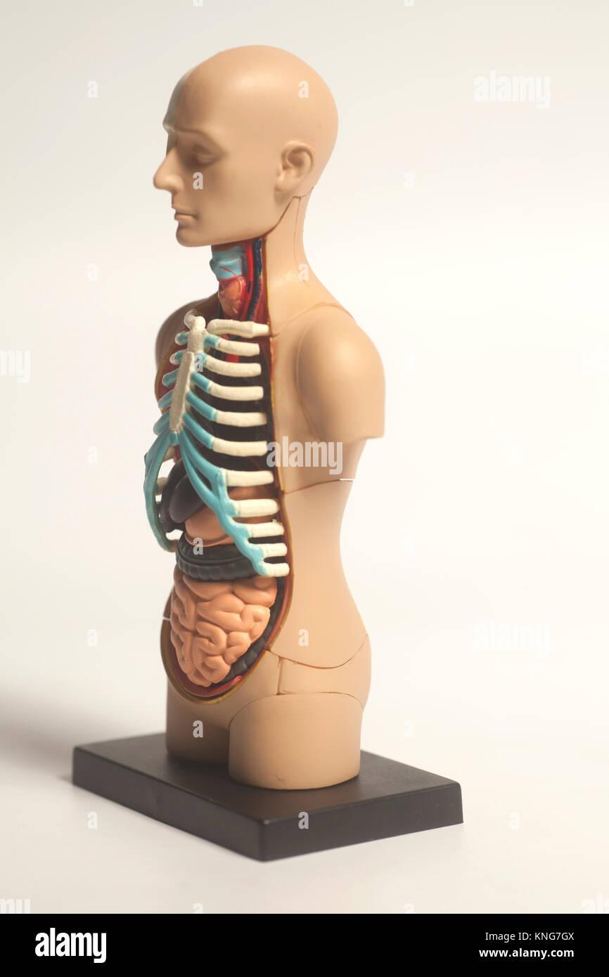 Human Body Anatomy Model on white background Stock Photo: 168158282 ...