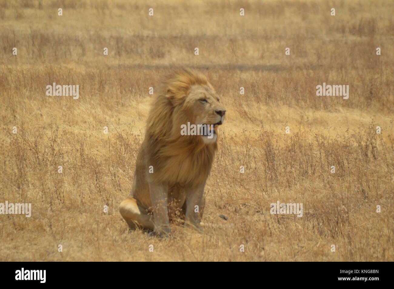 african safari september 2017 serengeti n'gorongoro manyara tanzania - Stock Image