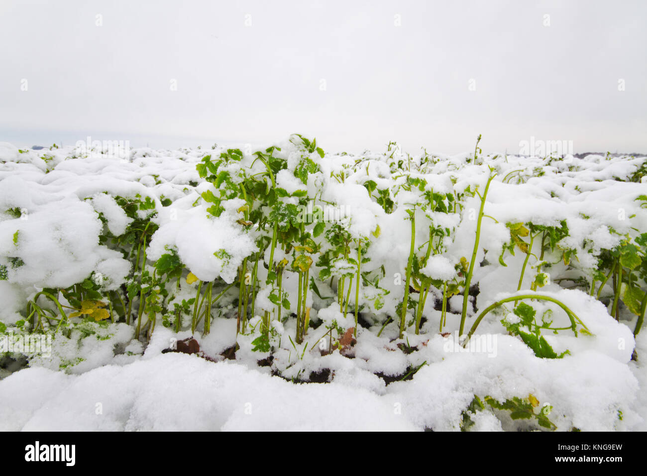 A field with tillage radish or Daikon in winter - Stock Image