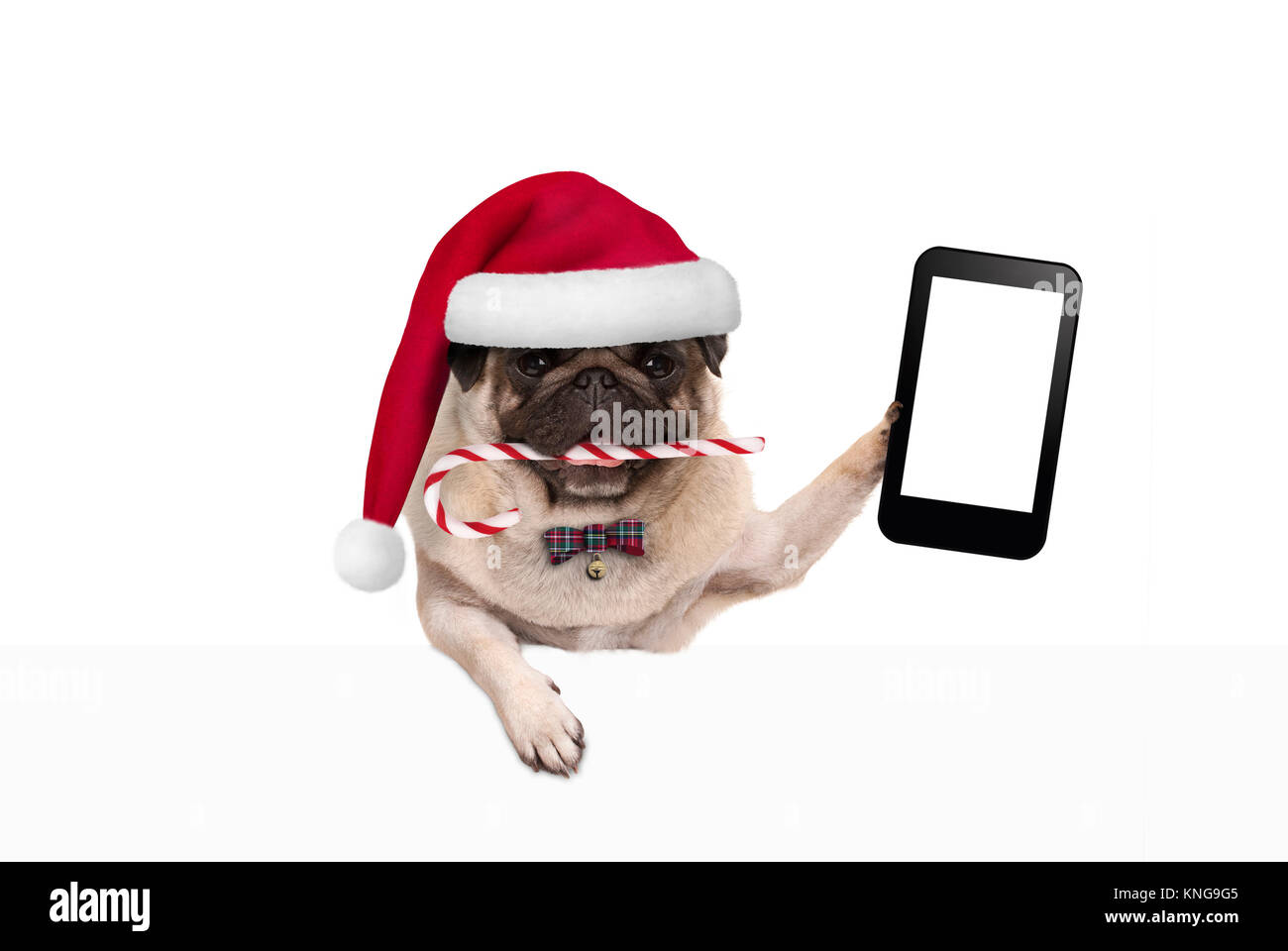 cute Christmas pug dog with santa hat and candy cane, holding up mobile smart phone, paw leaning on white banner, - Stock Image