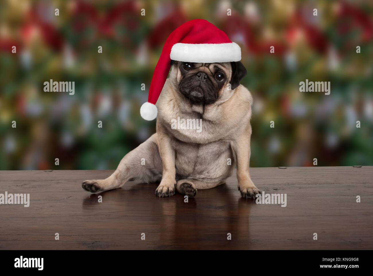 funny Christmas pug puppy dog sitting down on wooden ground, wearing santa claus hat, seasonal background - Stock Image