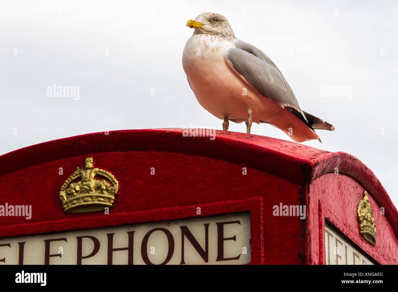A seagull sat on top of a K6 model Telephone Kiosk at Brixham Harbour. Brixham, Torbay, Devon, UK - Stock Image