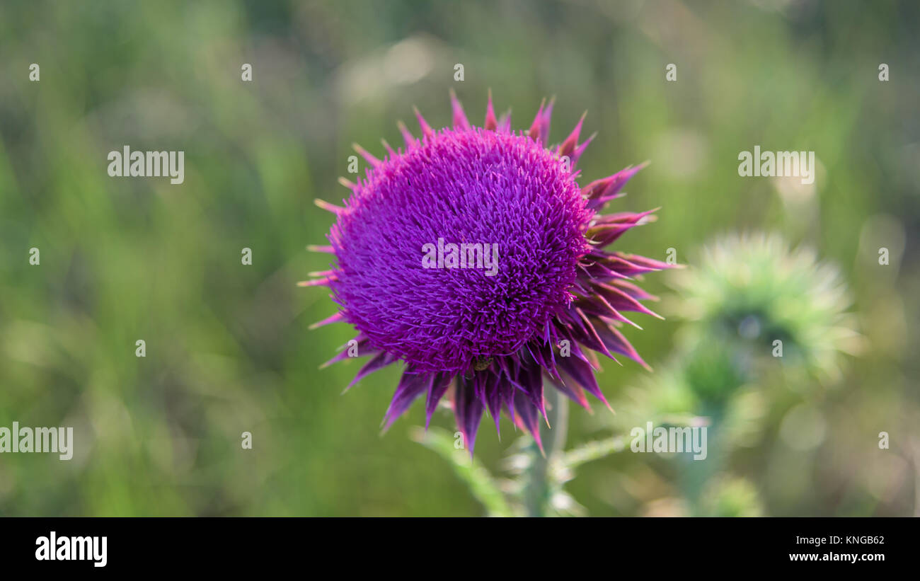 Pink Thorn Flower Stock Photos Pink Thorn Flower Stock Images Alamy