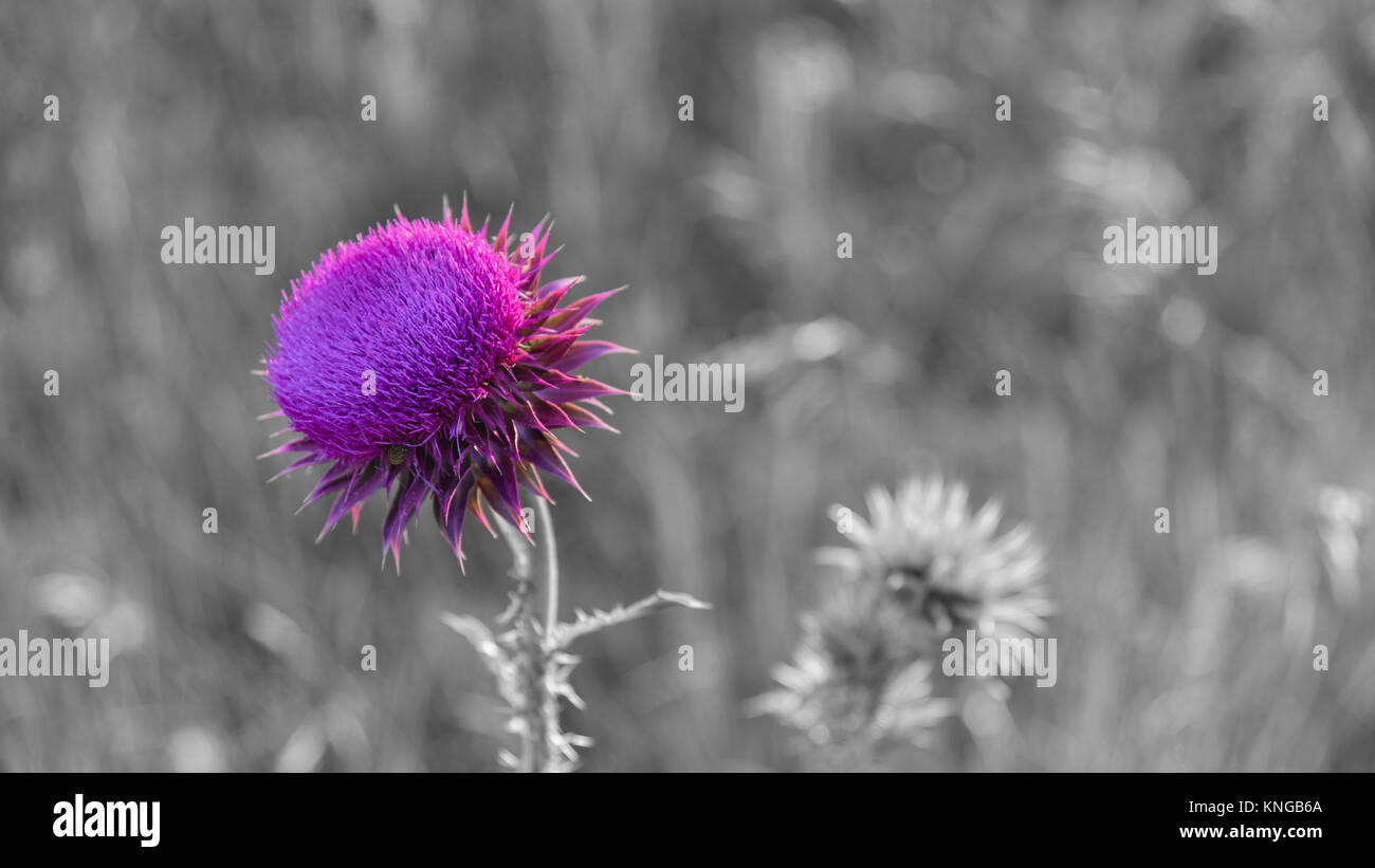 Pink milk thistle thorn flower selective color - Stock Image