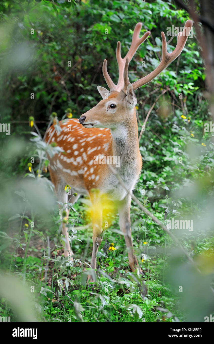 Close-up young whitetail deer standing in summer wood - Stock Image