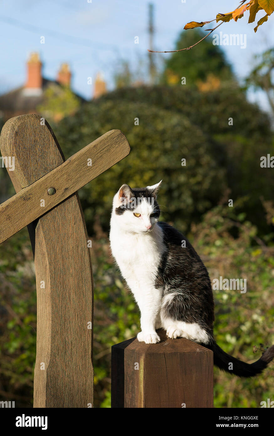 Black and white village cat waiting perched on a gate post in Wiltshire UK - Stock Image