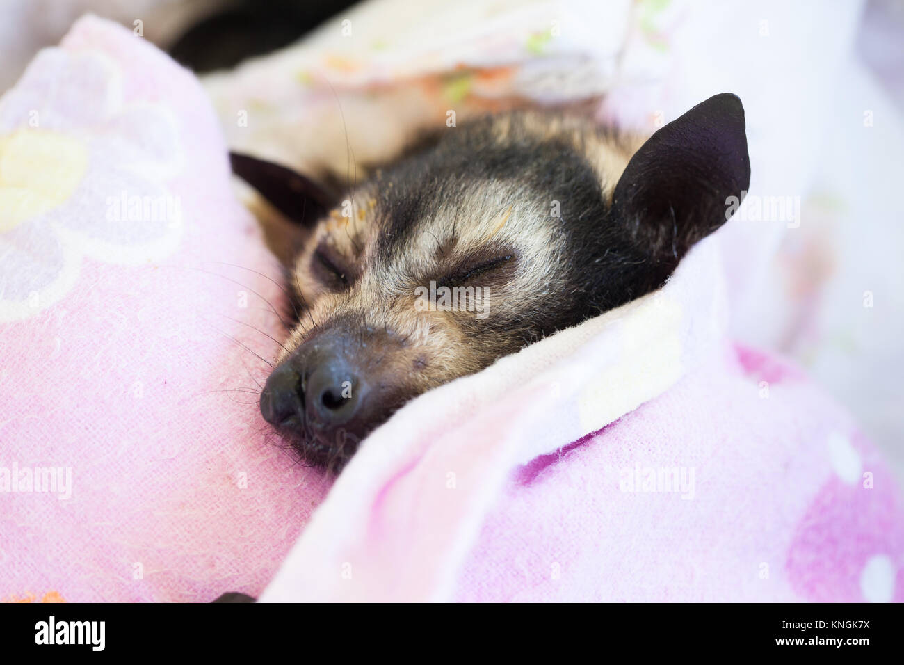 Spectacled Flying-fox (Pteropus conspicillatus). Orphaned baby recovering from anaesthesia. Miallo. Queensland. - Stock Image