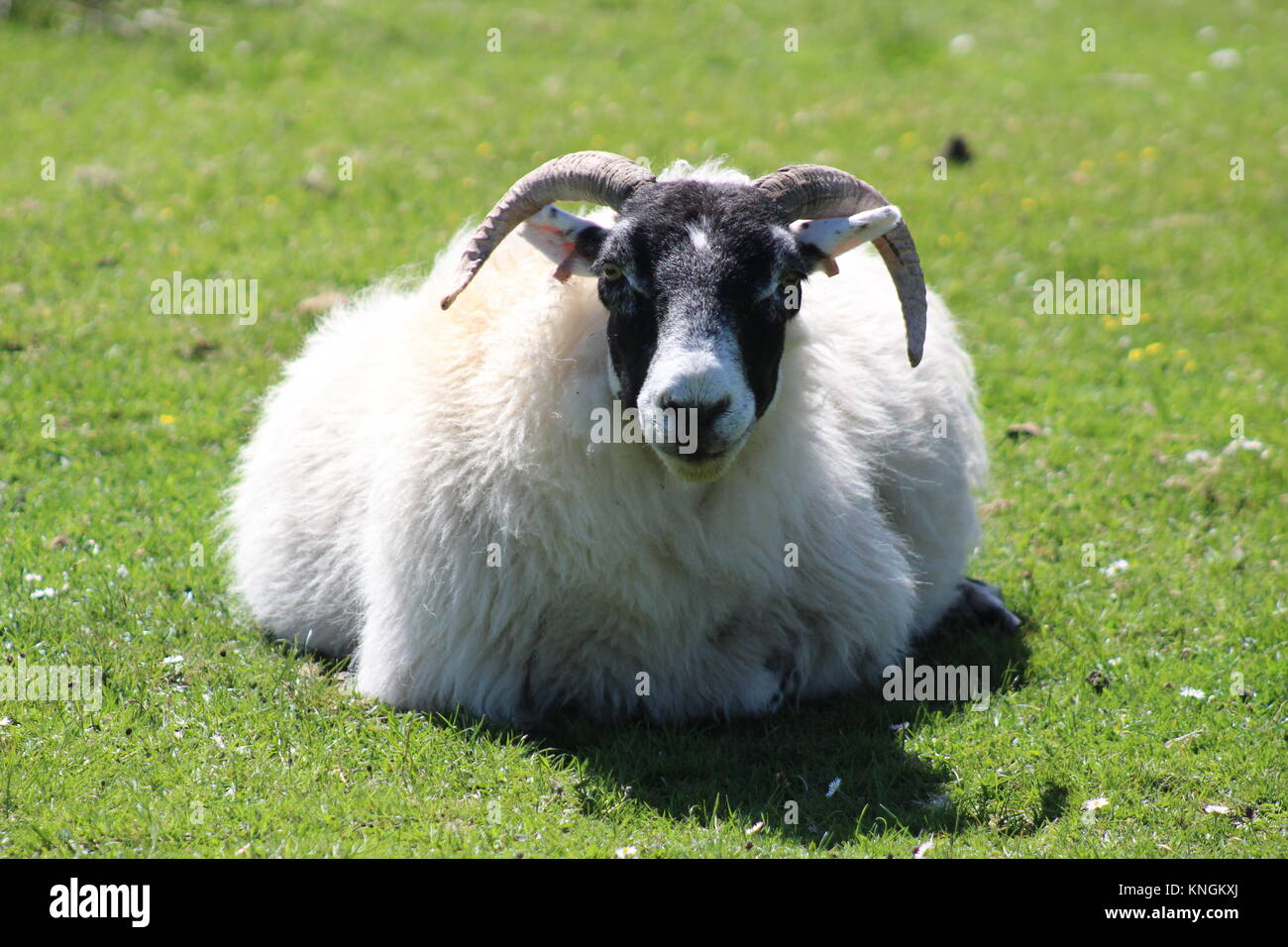 Scottish sheep having a well deserved rest on the grass. Taken in Scotland (Fort William) - Stock Image