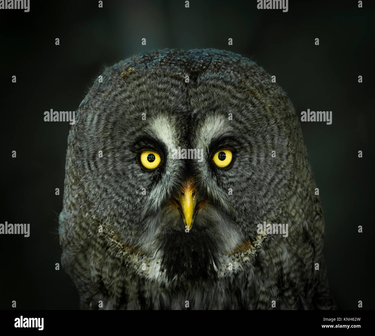 Gray Owl portrait. - Stock Image