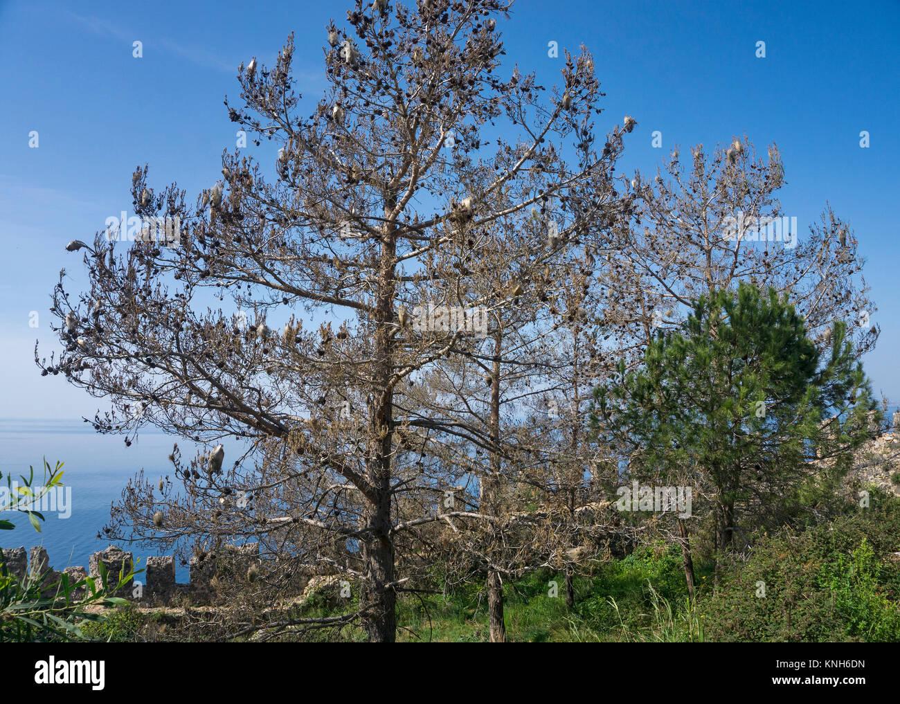 Nests of  Pine Processionary larvae (Thaumetopoea pityocampa) on a pine (Pinus pinea), Alanya, turkish riviera, - Stock Image