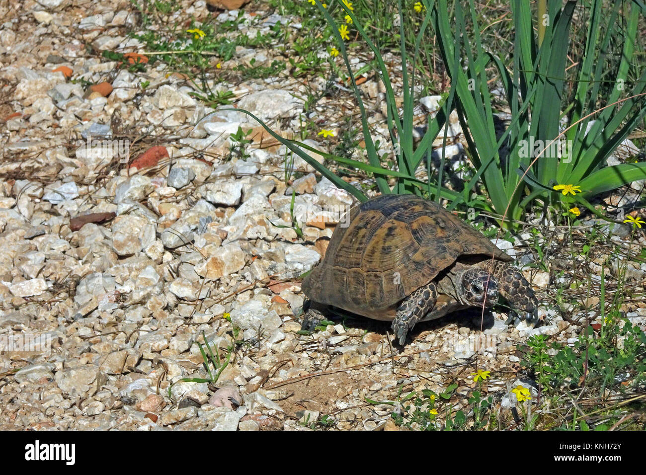 Spur-thighed tortoise or Greek tortoise (Testudo graeca) at the castle hill, IUCN red list, Alanya, turkish riviera, - Stock Image